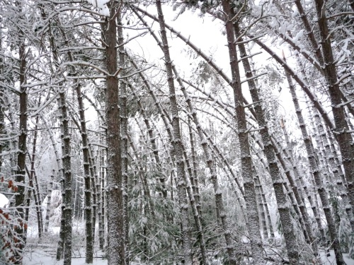 Our neighbor's stand of red pine.